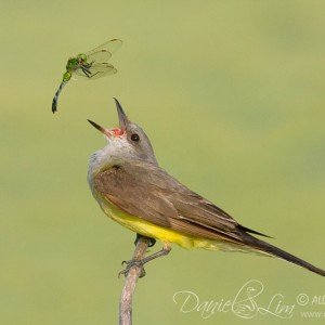 Western KingBird and Eastern Pond Hawk