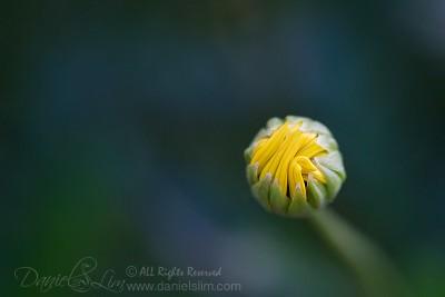 A daisy bud