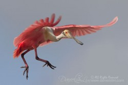 High Island Roseate Spoonbill Air Walking