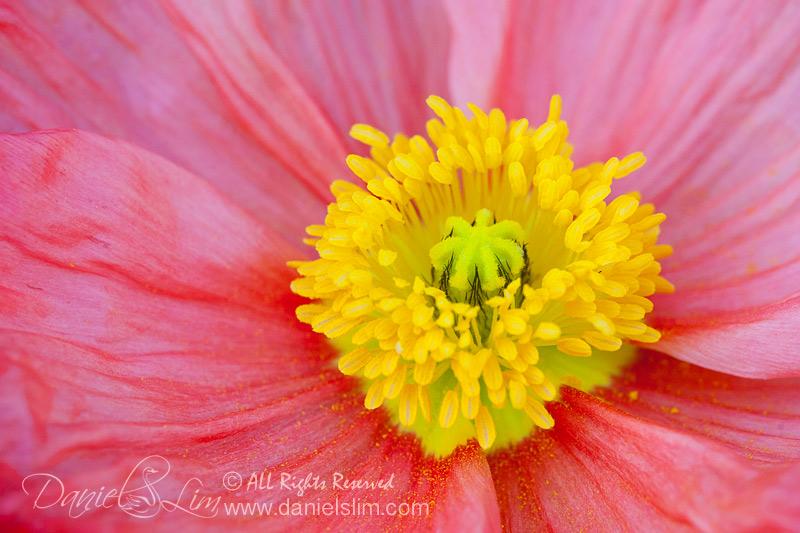 A Pink Poppy