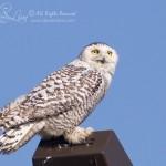 Rare Snowy Owl in Dallas, Texas