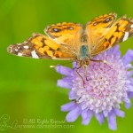 American_painted_lady