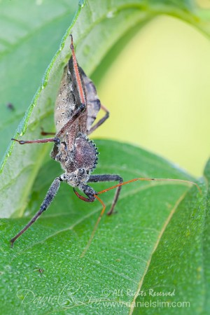 Assassin Wheel Bug - Arilus cristatus