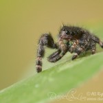 Green Fang's Bold Jumping Spider (Phidippus audax)