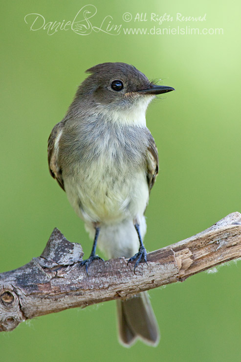 Eastern Phoebe flycatcher on a Perch