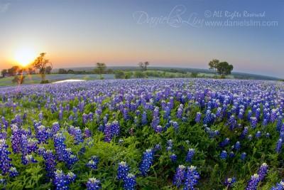 Evening Bluebonnet at Ennis, Texas