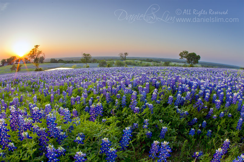 Evening Bluebonnet at Ennis, Texas