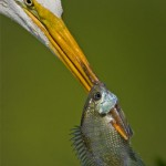 Great_Egret_with_a_fish