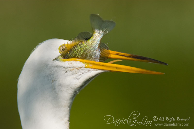 Great Egret eats a fish