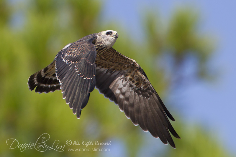 Juvenile Mississippi Kite In Flight