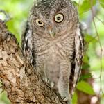 Juvenile Eastern Screech Owl