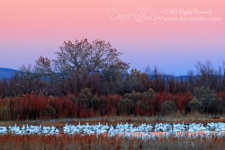 Late evening snow geese rest on a pool of water - Bosque Del Apache