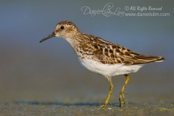 Least Sandpiper on Village Creek's mudflat