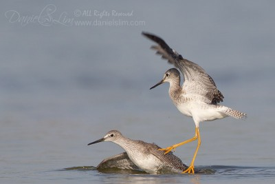Lesser Yellowlegs Quarrel - Fight over Territory
