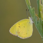 Little Yellow (Eurema Lisa) in Morning Light