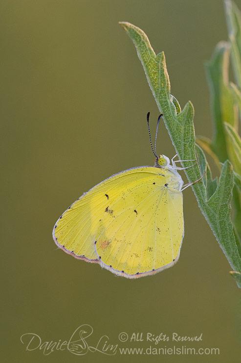 Little Yellow (Eurema Lisa) in Morning Light