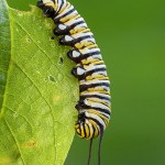 Monarch Caterpillar on a Leaf