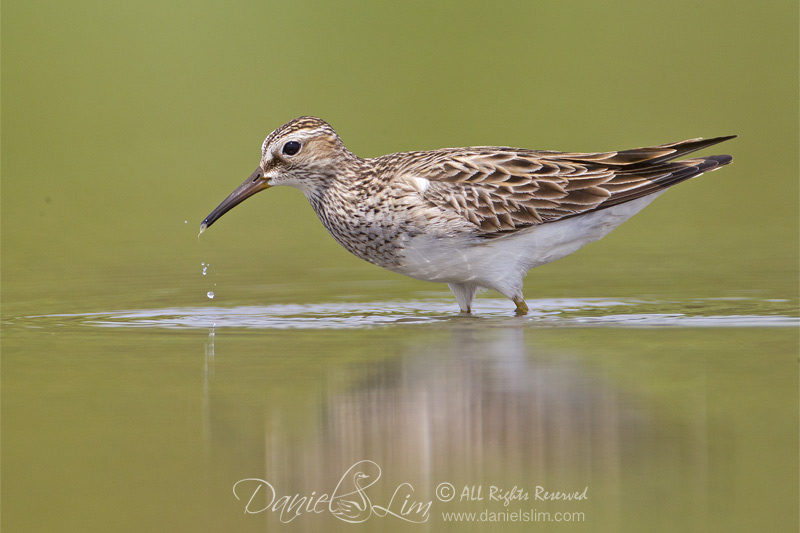 Pectoral Sandpiper (Calidris melanotos) probing for food