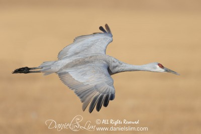 Sandhill Crane in Flight at Bosque del Apache
