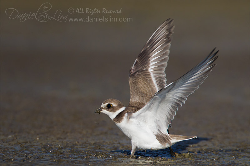 Semipalmated Plover with wings spread