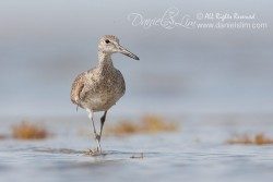Willet at Bolivar Flat