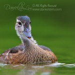 An Immature American Wood Duck