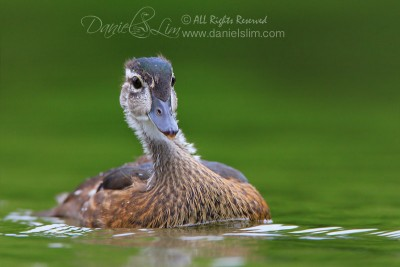 An Immature American Wood Duck