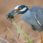 Yellow-crowned Night Heron and Crayfish