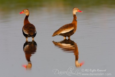 A pair of Black-Bellied Whistling Duck