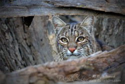 Bobcat - Hide and Seek