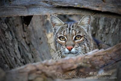 Bobcat - Hide and Seek