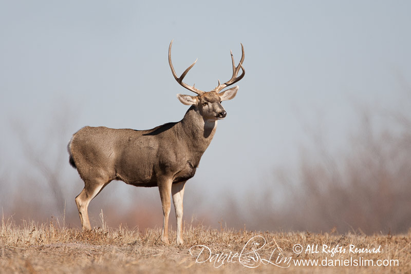 A Bull Whitetail Spots at Bosque Del Apache