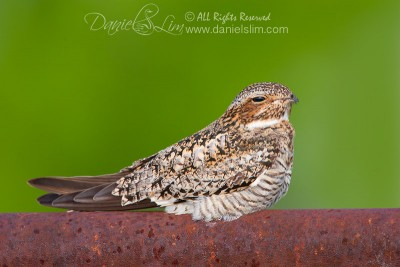 Common NightHawk rests on Rusty Fence Pole