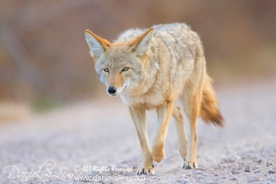 Coyote at Bosque del Apache