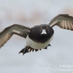 Drake Lesser Scaup in Flight - Head on
