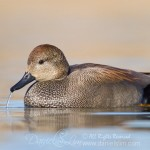 Drake Gadwall spitting out water