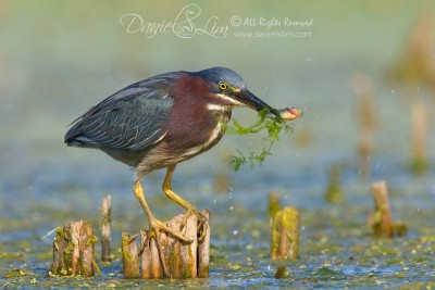 green_heron_prey_fish