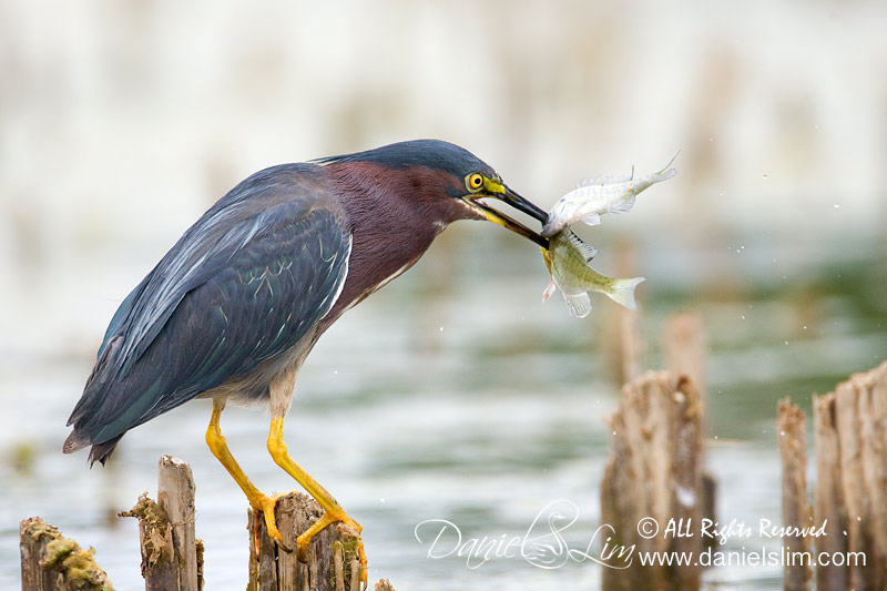 Green Heron Spears Two Fishes