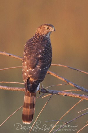 Juvenile Cooper's Hawk in Morning Light