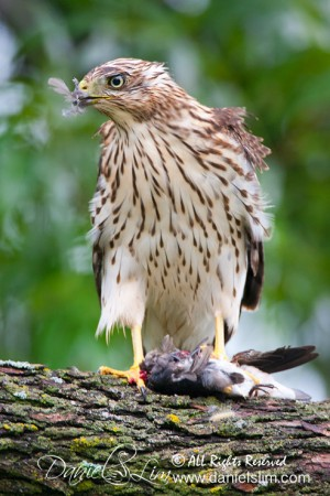 Juvenile Cooper's Hawk with Prey