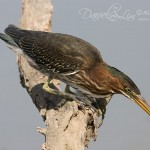 Juvenile Green Heron Caught a Fish