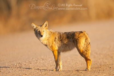 Coyote in late evening light