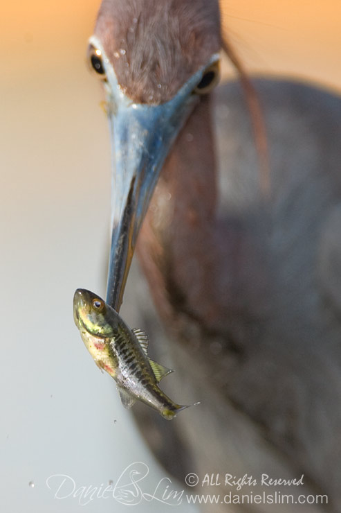 Little Blue Heron Spears a Fish