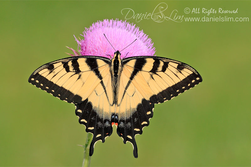 Male Eastern Tiger Swallowtail from top view (Papilio glaucus)