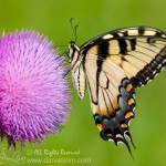 Male Eastern Tiger Swallowtail from side view (Papilio glaucus)