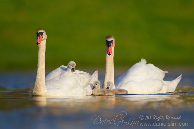 Mute Swan Family - Cygnet piggyback ride