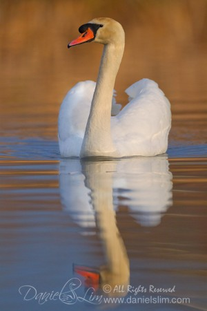Mute Swan reflection