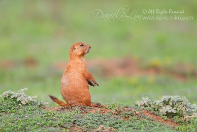 Black-tailed Prairie Dog at Fort Worth Nature Center