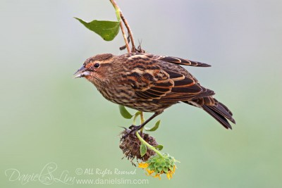 Female Red-winged Blackbird hanging from a stalk