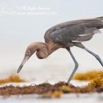 Reddish Egret searchs for prey